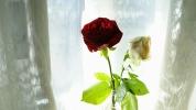 21082013_rosesFromEunny_03